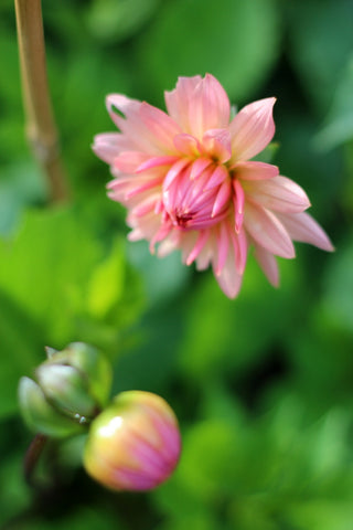 Dahlia. A September stroll around the garden with What You Sow