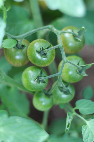 Green tomatoes. A September stroll around the garden with What You Sow