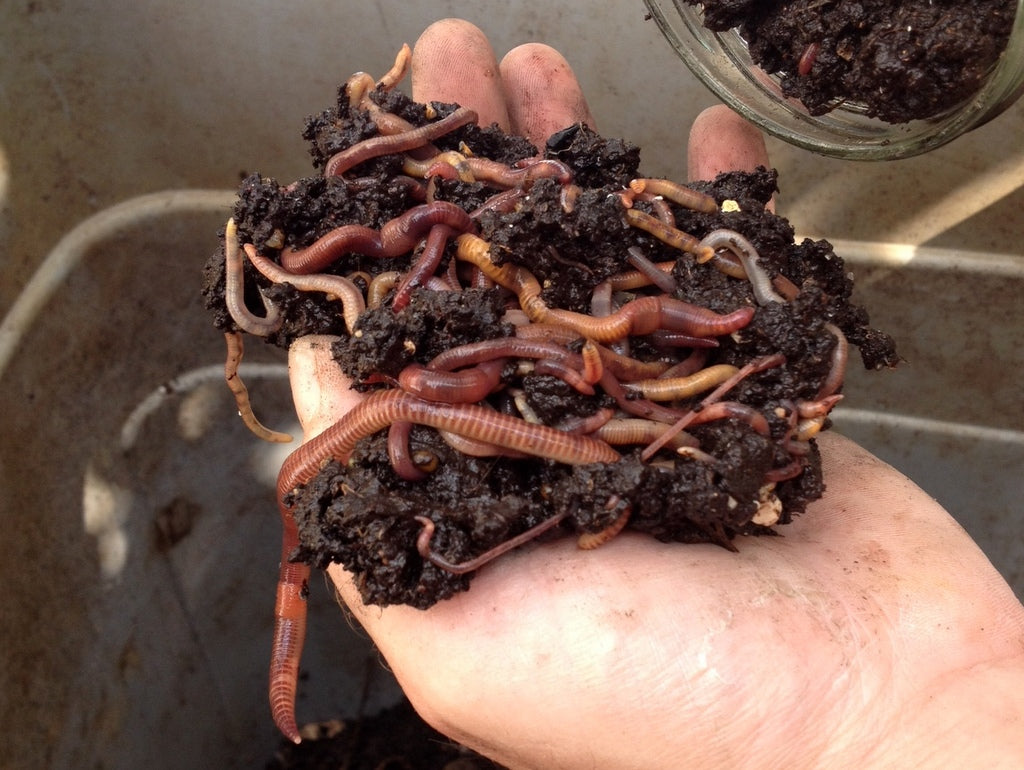The worms are moving to a new home! I Got Worms by What You Sow