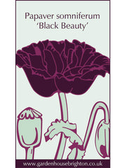Papaver somniferum - 'Black Beauty'