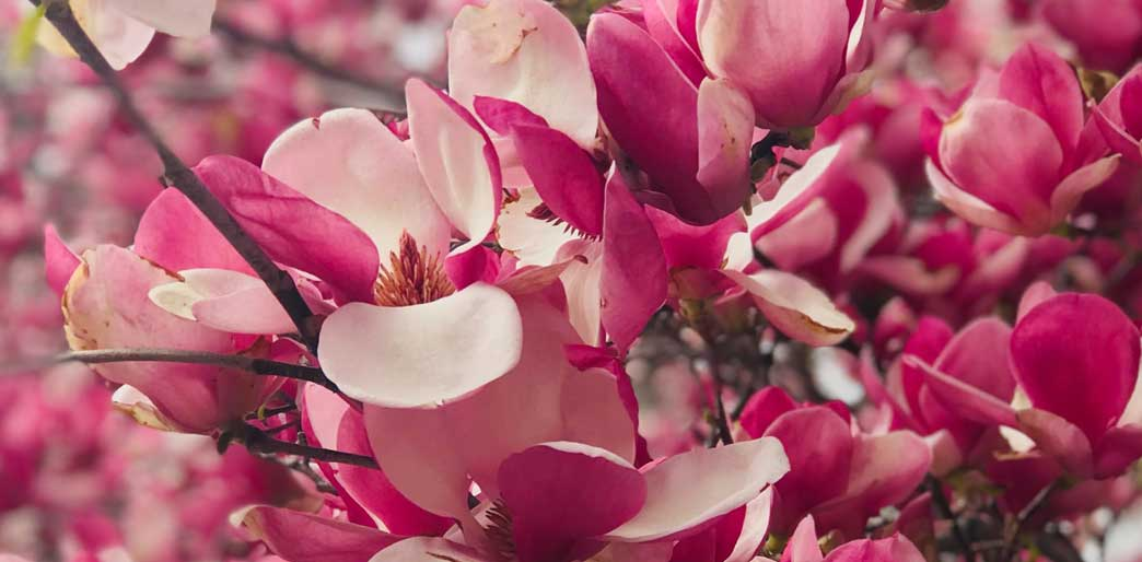 Raw into Spring banner of pink blossom flowers.