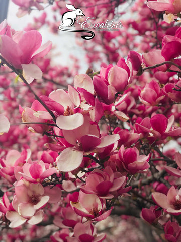 Pink Spring Blossom branches