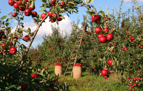 Apple Orchard with trees laden with fruit.