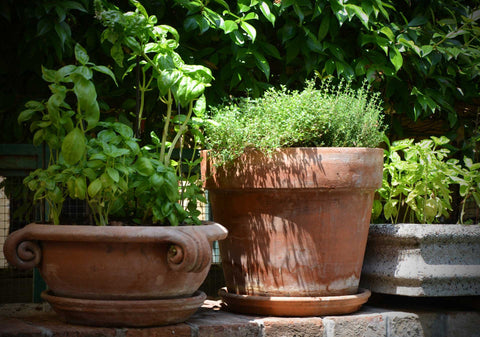 Basil and Herbs growing in pots.