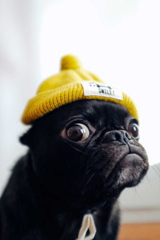 Black pug wearing a yellow beanie hat.