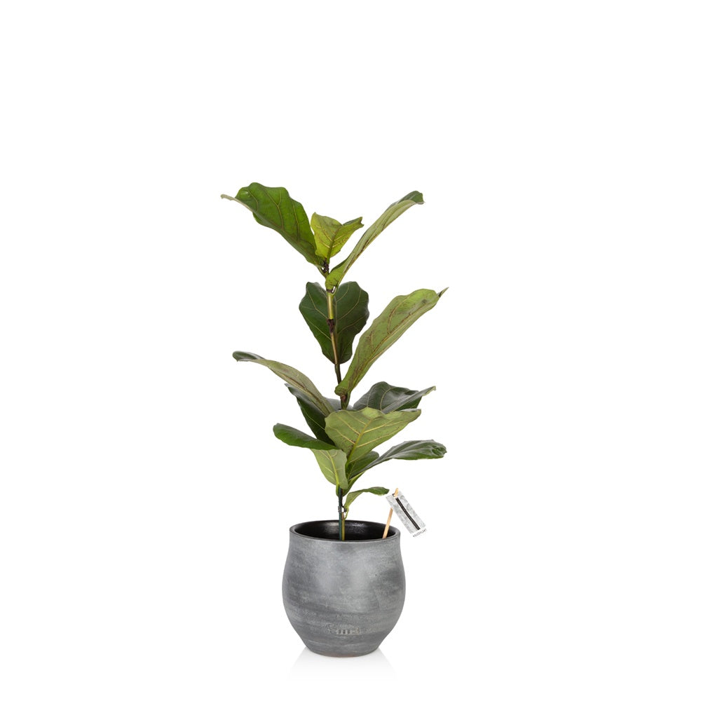 Little Botanical Medium Fiddle Leaf Fig