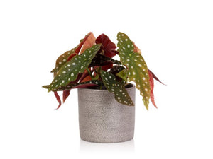Little Botanical Begonia Maculata Houseplant