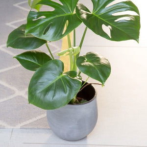 Little Botanical Large Monstera 14cm in Grey Pot