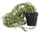 Load image into Gallery viewer, Grand Illusions Senecio in Pot