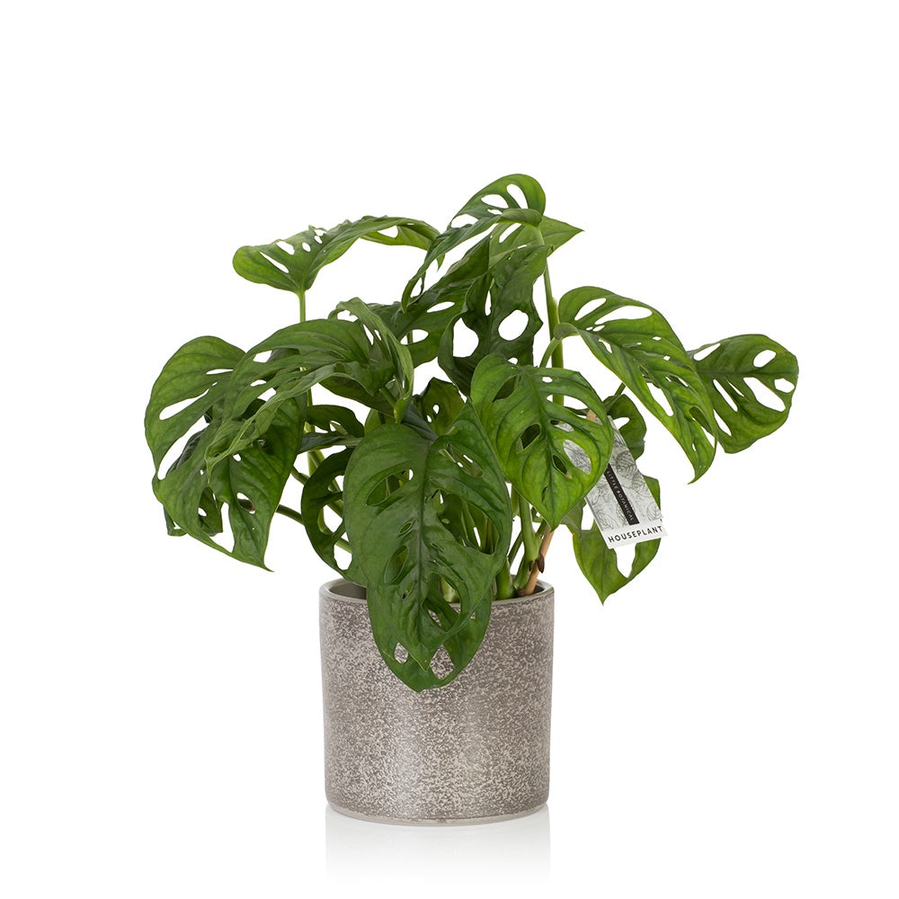 Little Botanical Monstera Adonsii (Monkey Leaf) Houseplant