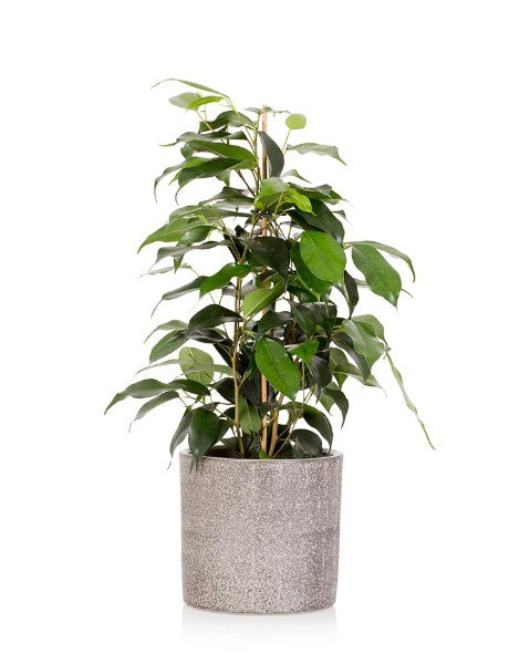 Little Botanical Ficus Benejamina Grey Houseplant Pot