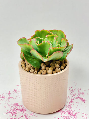 Succulent in Sandy Pink Pot