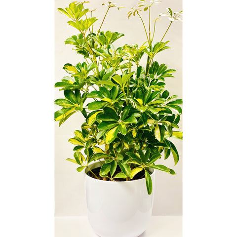 Tropical Plants Dropped in White Pot