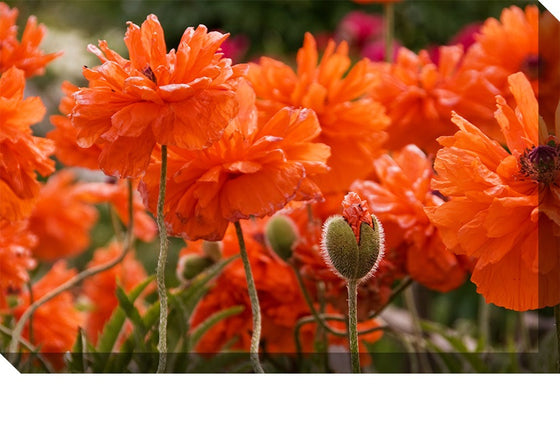 Poppies Outdoor Canvas Art - Premier Home & Gifts