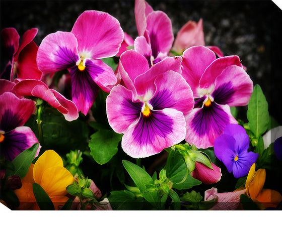 Pansies Outdoor Canvas Art - Premier Home & Gifts