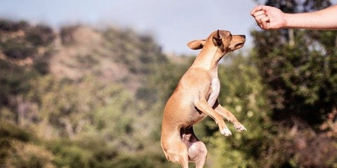 Dog Jumping While being trained