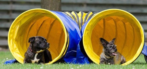 Agility Dog Training with Tunnel