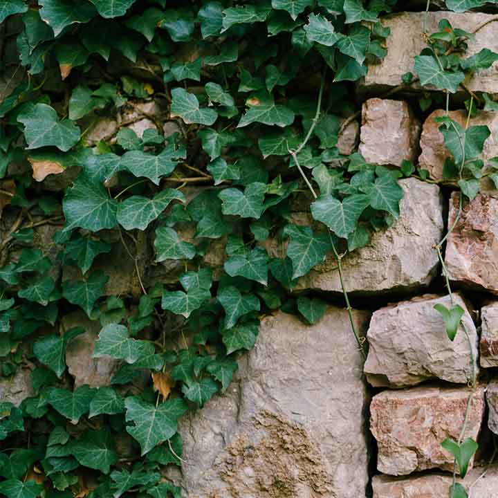green ivy draping along rocks