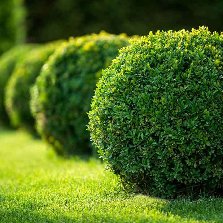 green topiary ball in a row and fading out into the background