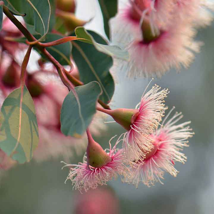 close up of pink and white Eucalyptus flowers
