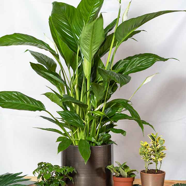 Peace Lilly and other various potted plants indoors
