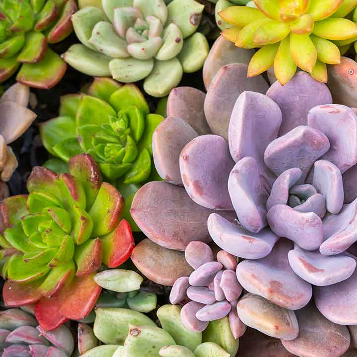 close up of a variety of colourful succulents