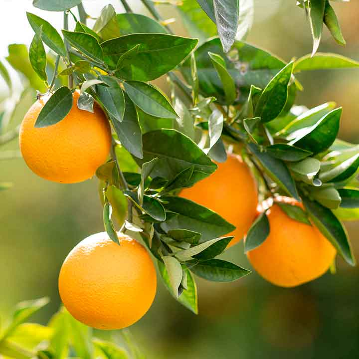 close up of four oranges and foliage