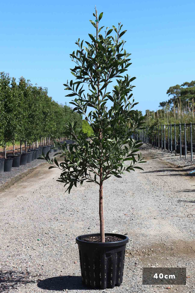 Acacia melanoxylon in a 40cm black pot