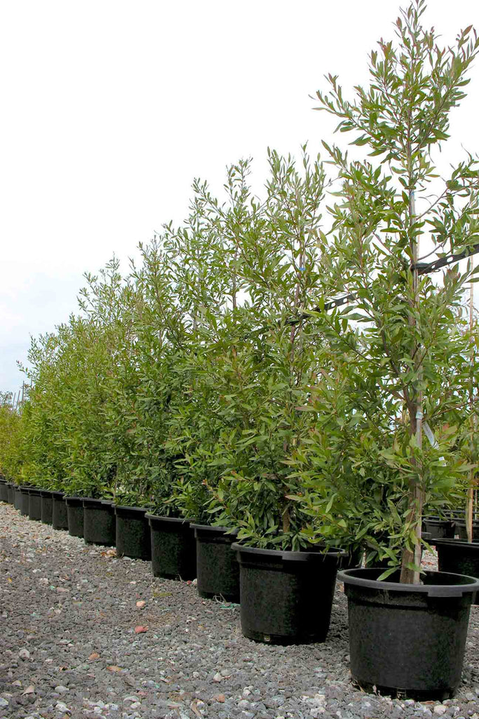 a group of Acacia Melanoxylonin black pots, in a row