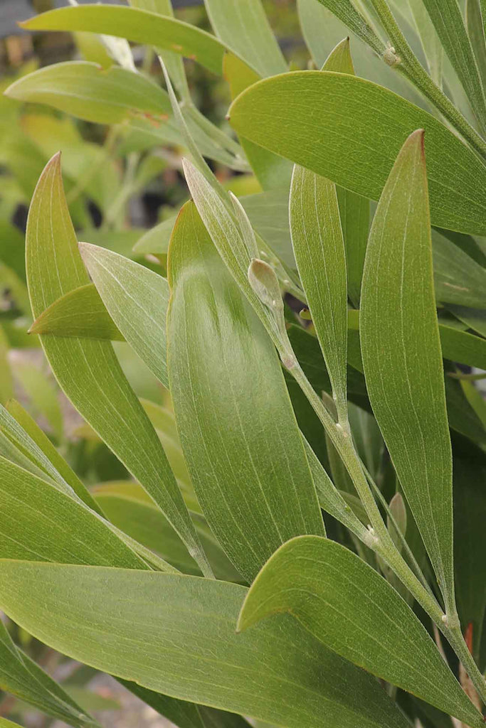 Close Up Image of Acacia Melanoxylon Green Foliage