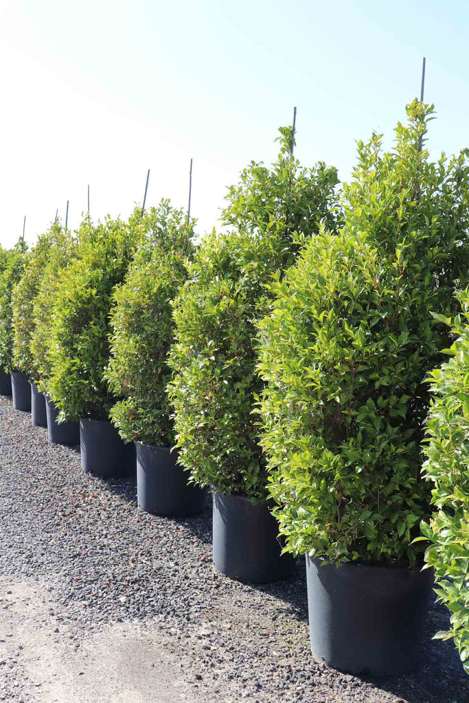 a row of Acmena smithii 'Sublime' in black pots