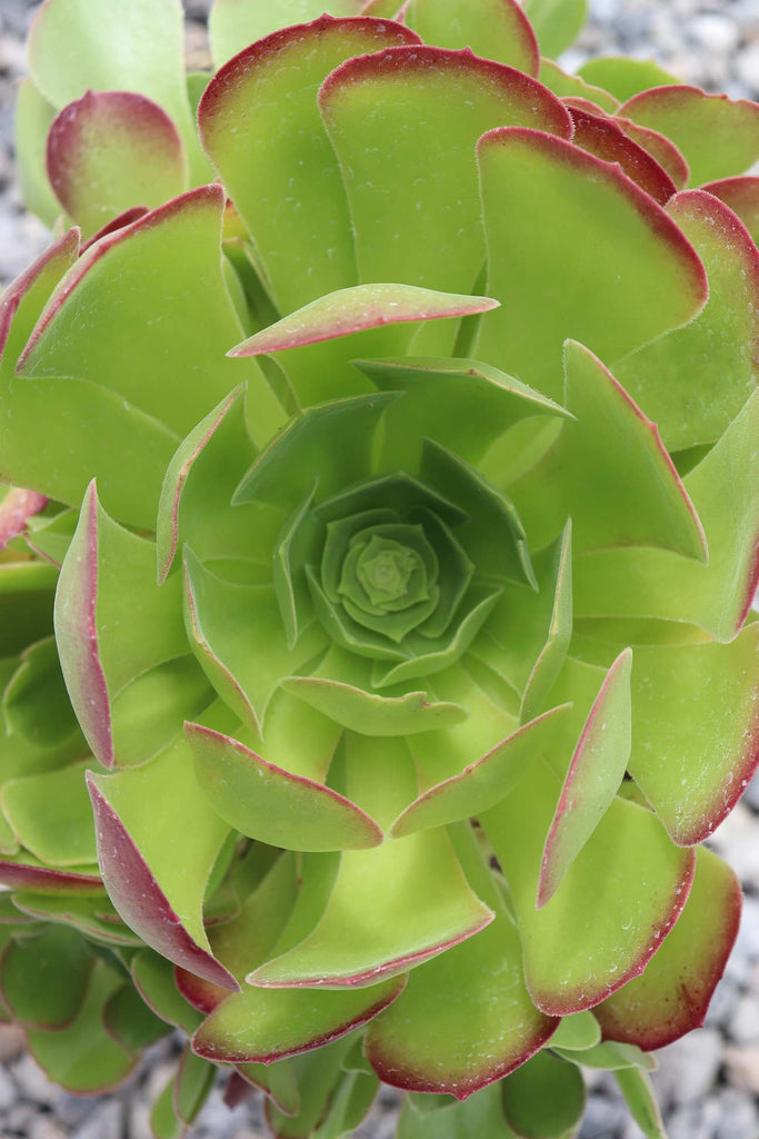 Close up of the Aeonium Blush from above showing the rose formation