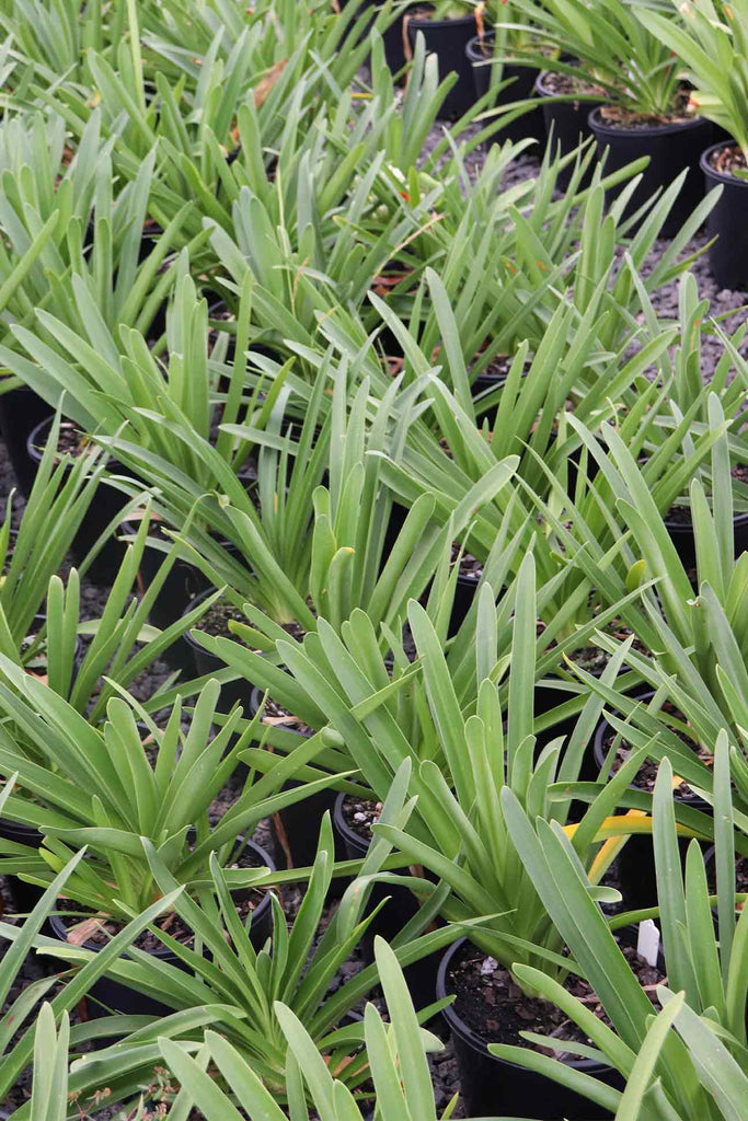 A group of Agapanthus orientalis White in 20cm black pots