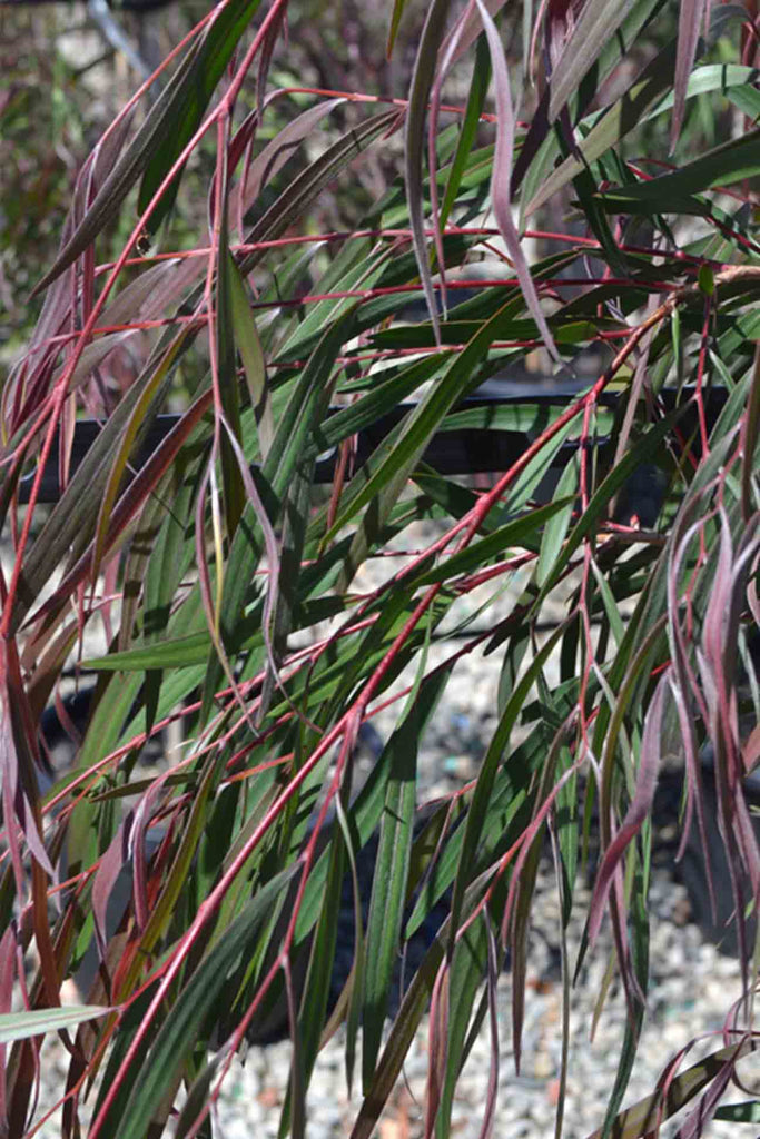 close up of the Agonis Flexuosa Burgundy red, purple and green foliage