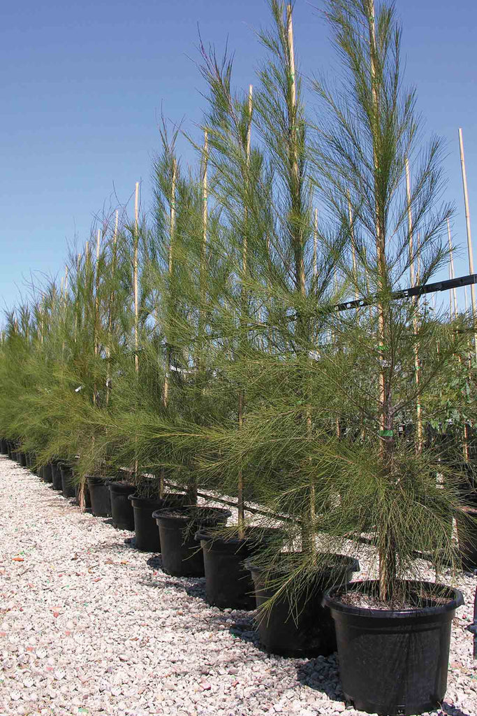 row of Allocasuarina Littoralis in black pots on the right side of image