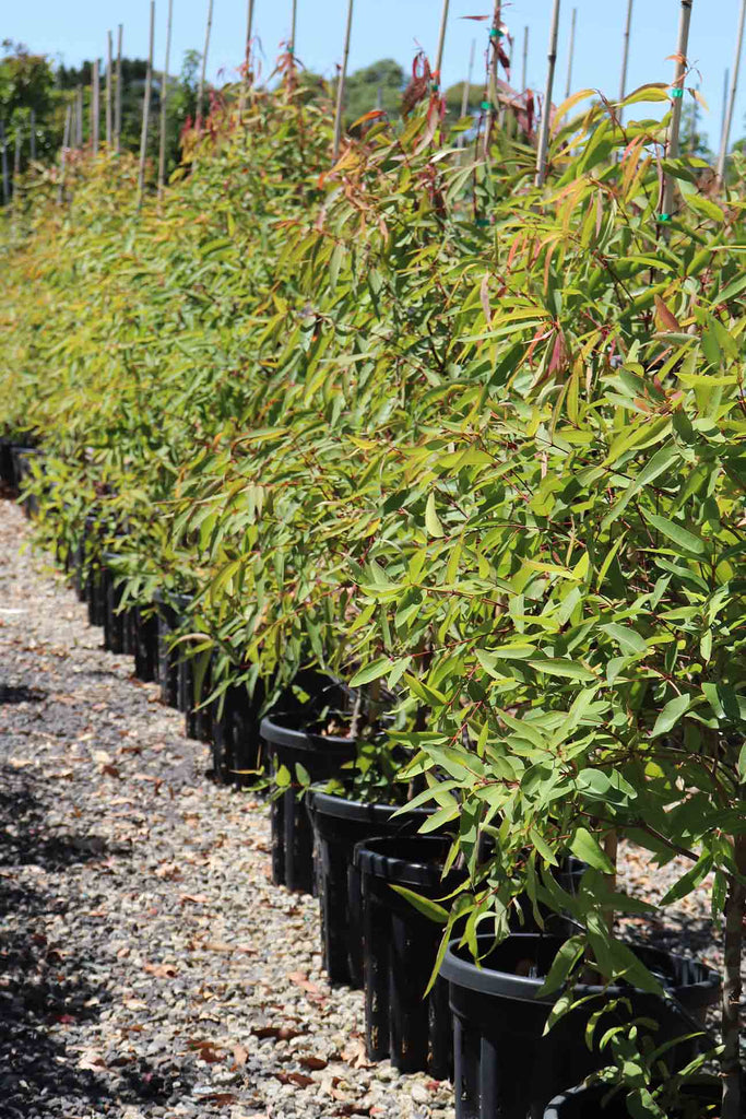 Angophora costata in a row in black pots