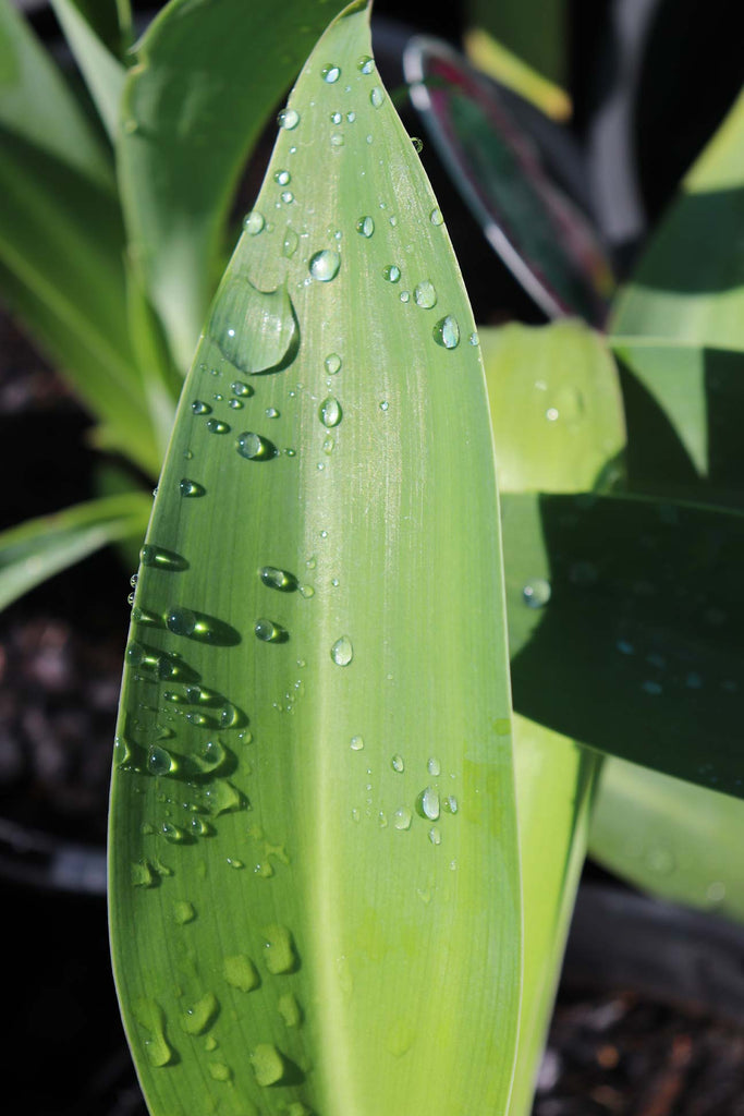 Close up of the Arthropodium cirratum 'Matapouri Bay' leaf with water droplets