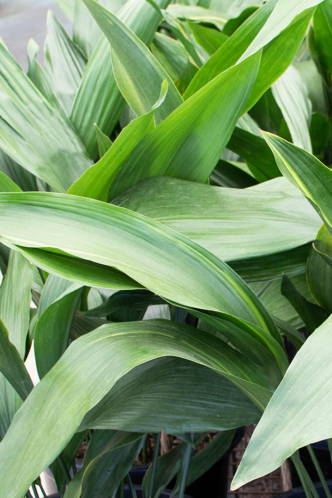 close up of the Aspidistra elatior leaves