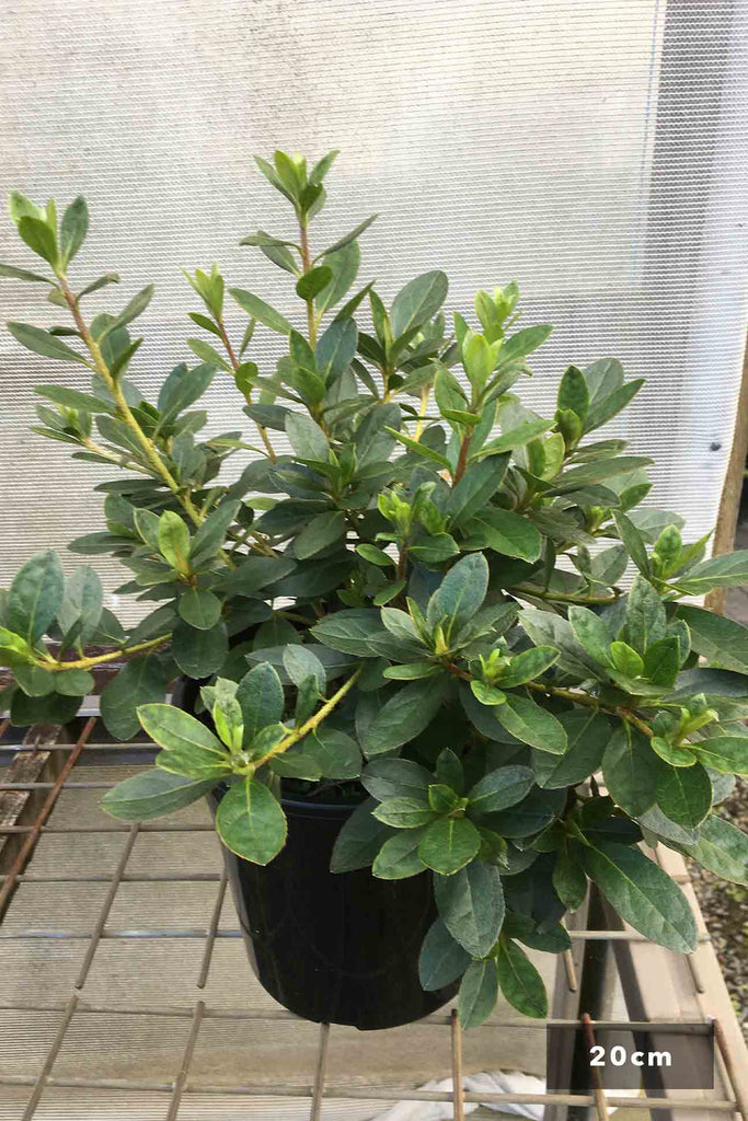 Azalea indica 'Red Wing' in a 20cm black pot