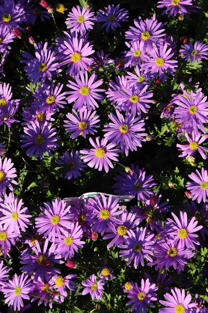 A group of Brachyscome Brasco Violet flowers