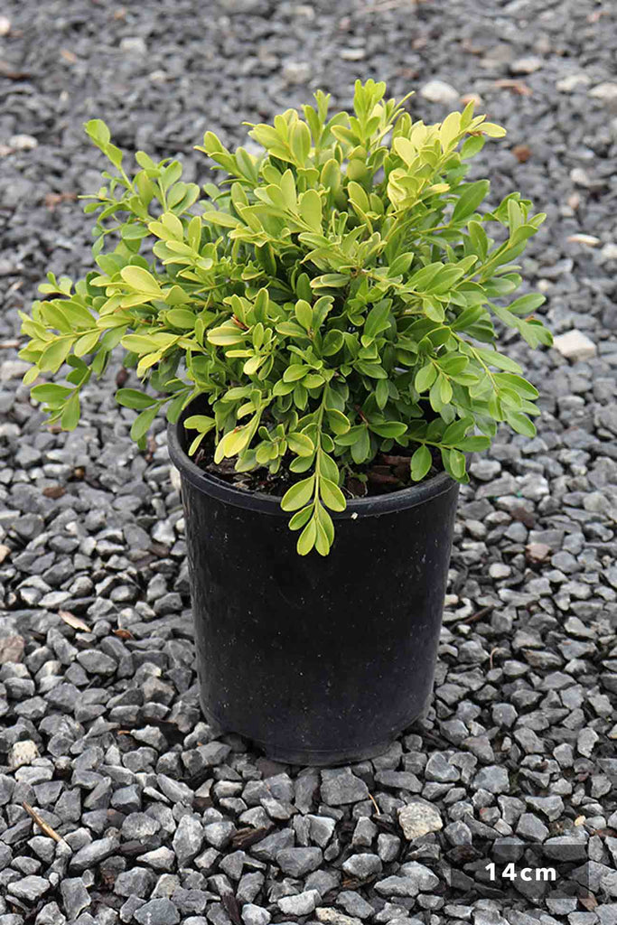 Buxus Microphylla Microphylla 14cm in black pot