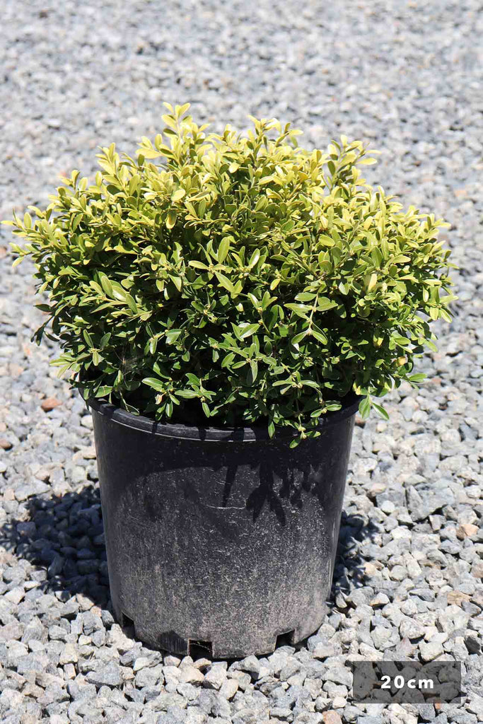 Buxus microphylla Microphylla in a 20cm black pot