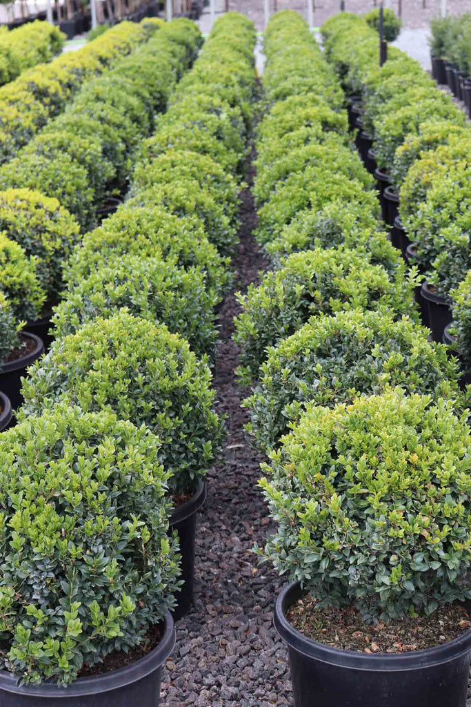 Rows of Buxus sempervirens Topiary Balls in black pots