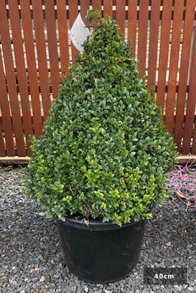 Buxus sempervirens Topiary Cone in a 40cm black pot