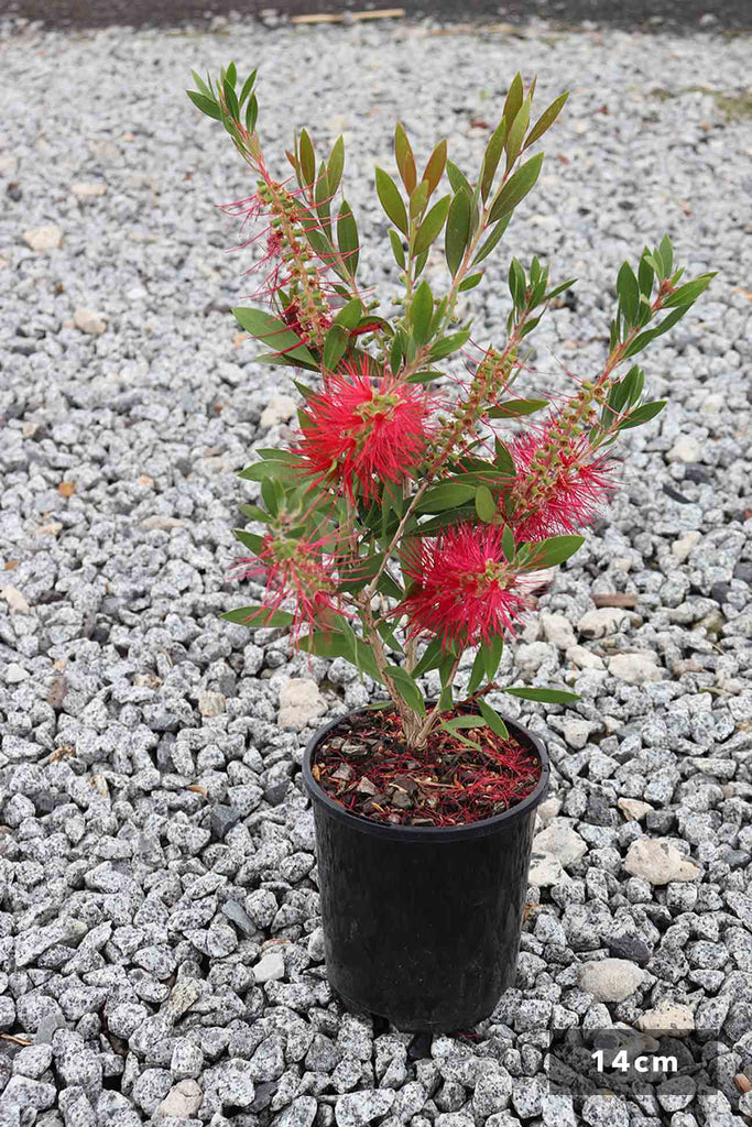 Callistemon Citrinus Endeavour in a 14cm black pot