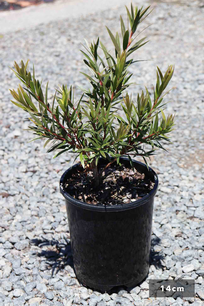 Callistemon viminalis 'Captain Cook' in a 14cm black pot