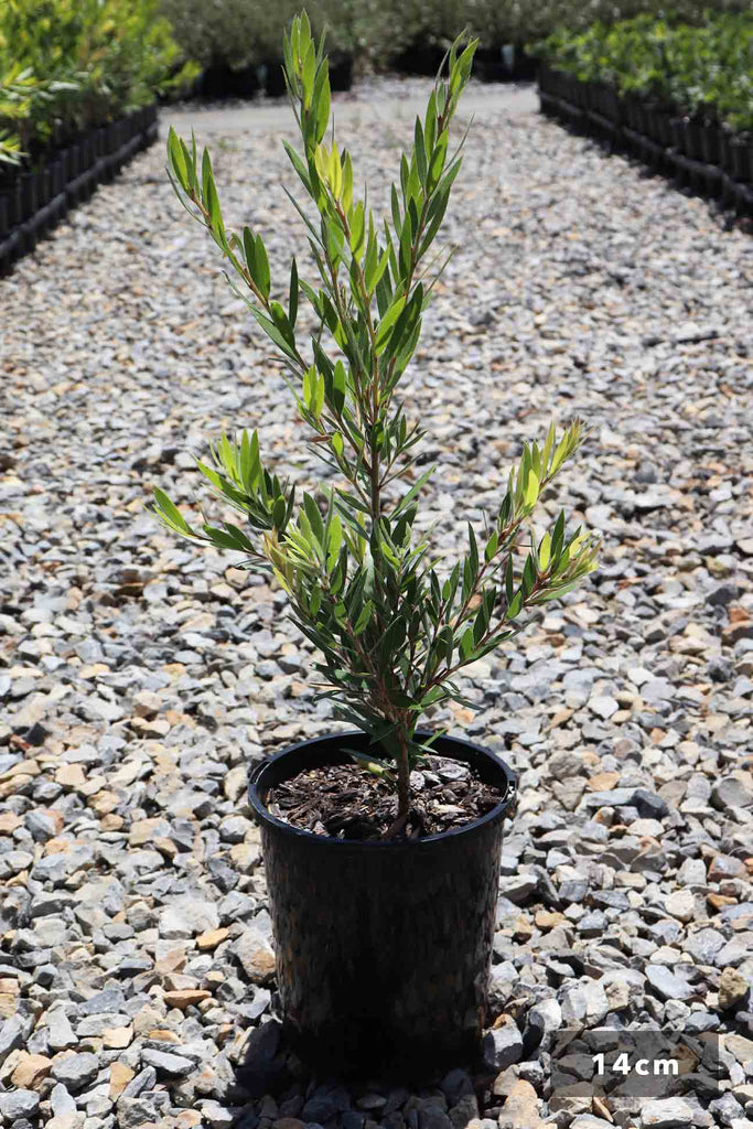 Callistemon viminalis 'Slim' in a 14cm black pot