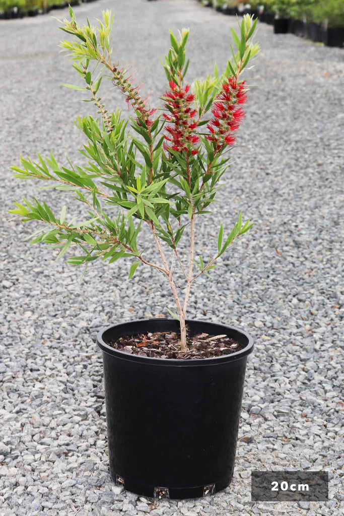 Callistemon viminalis 'Slim' in 20cm black pot