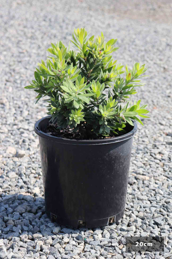 Callistemon viminalis 'Better John' in a 20cm black pot