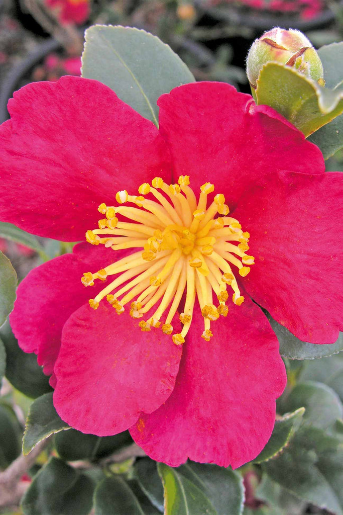 close up of the Camellia sasanqua 'Yuletide' flower
